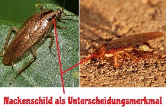 Bernstein Waldschabe erkennen und Verwechslung mit Kakerlake