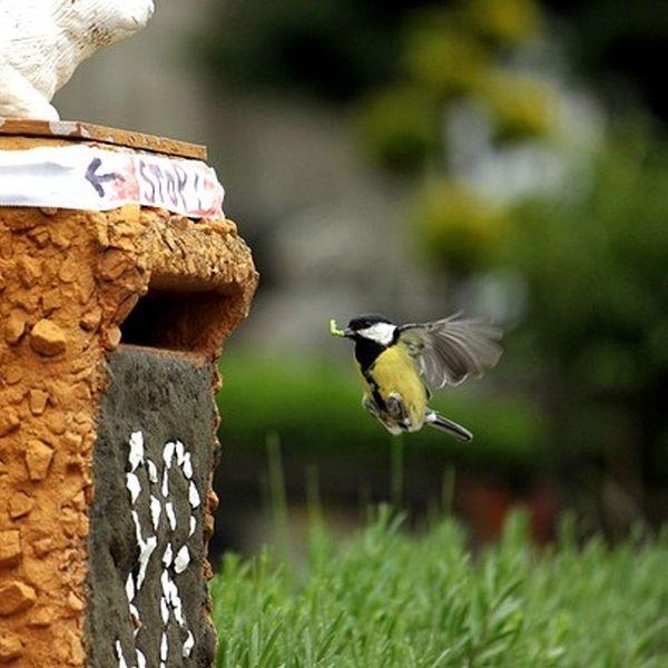 Buchsbaumzünsler bekämpfen durch natürliche Fressfeinde