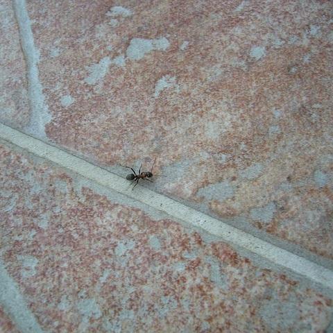 Hausmittel gegen Ameisen im Haus und Garten