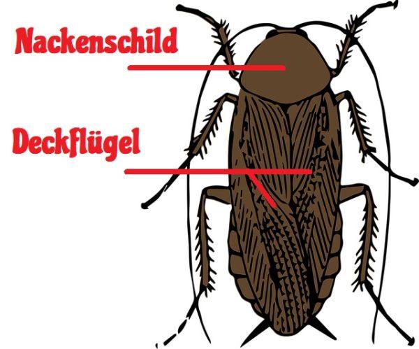 Kakerlaken erkennen