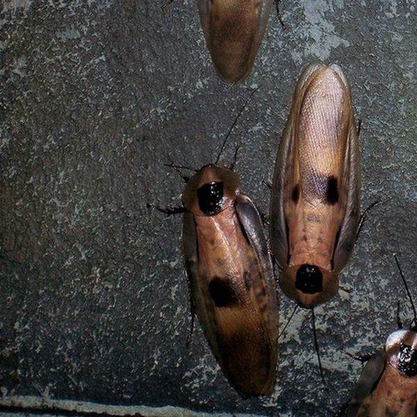 Kakerlaken Meldepflicht