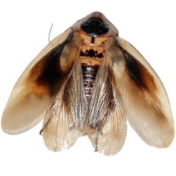 Können Kakerlaken fliegen?