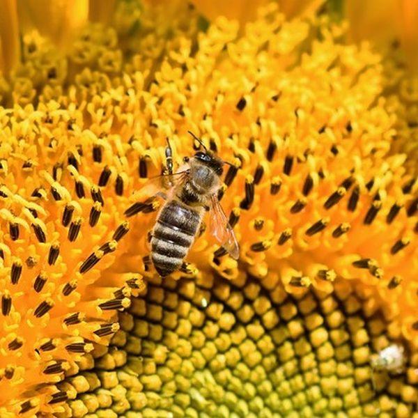 tabelle unterschied von wespen bienen hornissen erkl rt. Black Bedroom Furniture Sets. Home Design Ideas