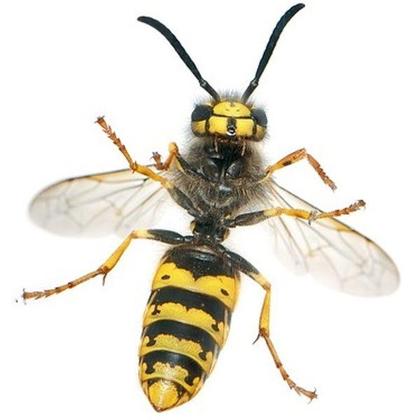 Deutsche Wespe erkennen Steckbrief
