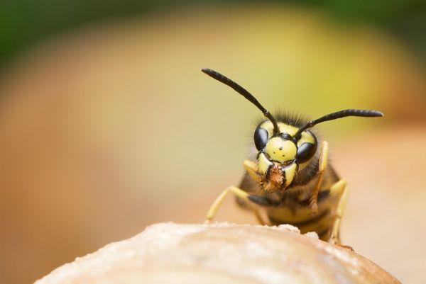Deutsche Wespe erkennen