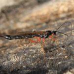 Eichenprozessionsspinner entfernen natürliche Feinde Schlupfwespe