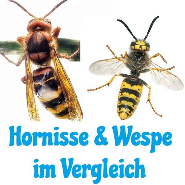 Hornisse und Wespe im Vergleich