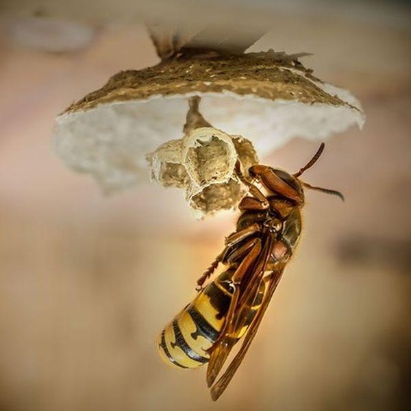 Hornissenkönigin erkennen am Nestbau