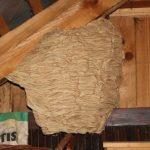 Hornissennest entfernen im Dachboden