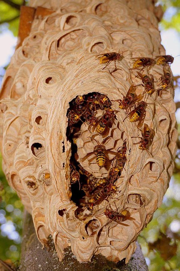 Hornissenstich Gift Nest