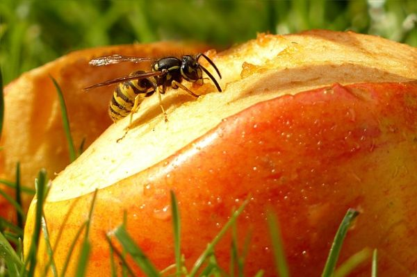 Was essen Wespen: Fallobst