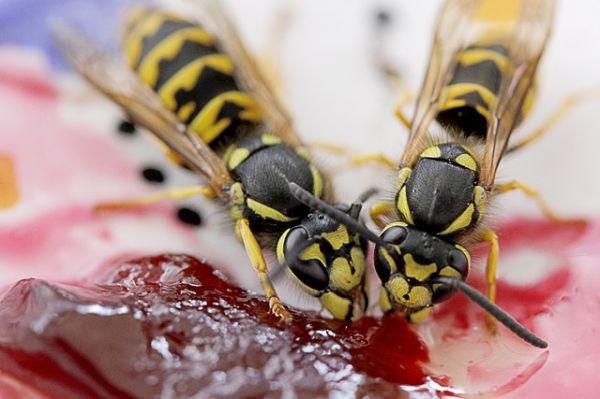Wespen bekämpfen mit Gift
