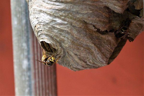 Wespen Naturschutz Nest umsiedeln