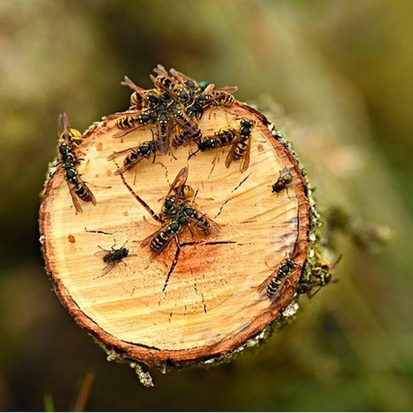 Wespen Naturschutz Nestbau Totholz