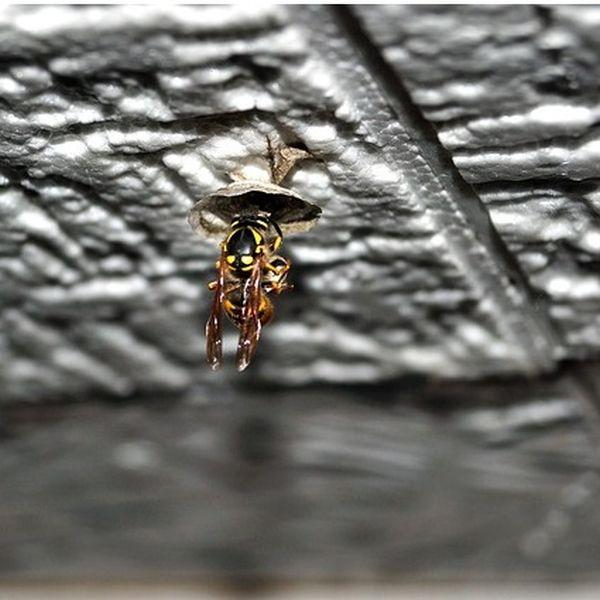 Wespenkönigin vertreiben und Nestbau verhindern