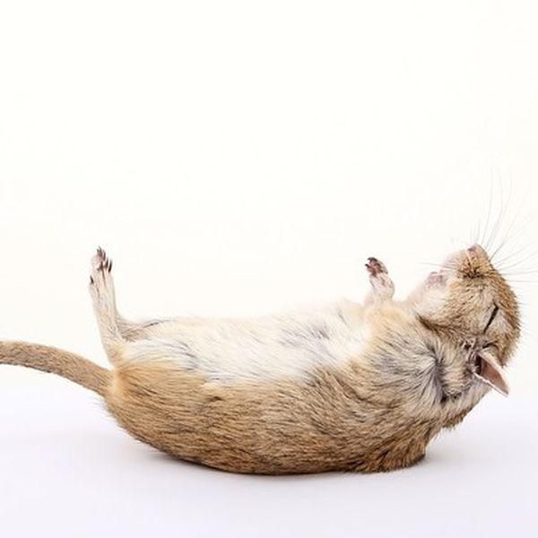 Elektrische Rattenfalle Test