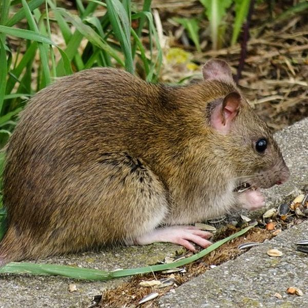 Hausmittel gegen Ratten
