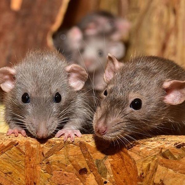Ratten auf dem Dachboden
