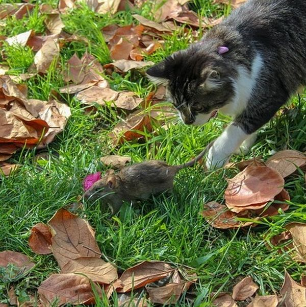 Ratten im Garten und Kompost bekämpfen