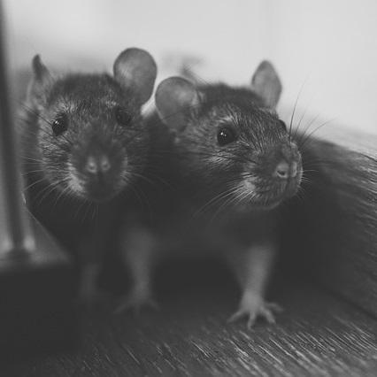 Ratten im Haus bekämpfen