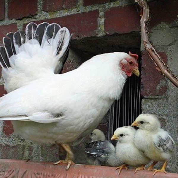 Ratten im Hühnerstall vertreiben
