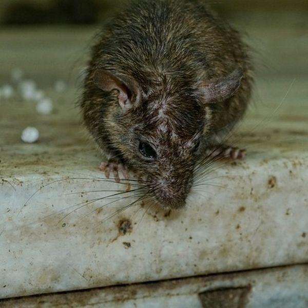 Ratten im Keller bekämpfen