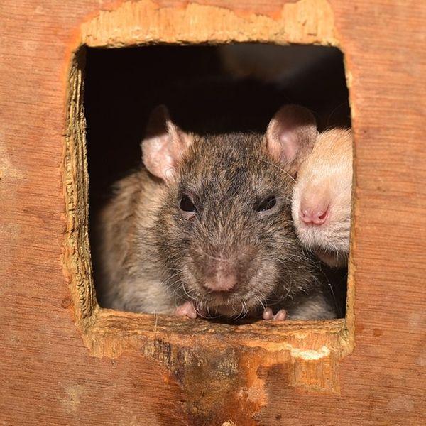 Rattenköderbox Köderbox gegen Ratten