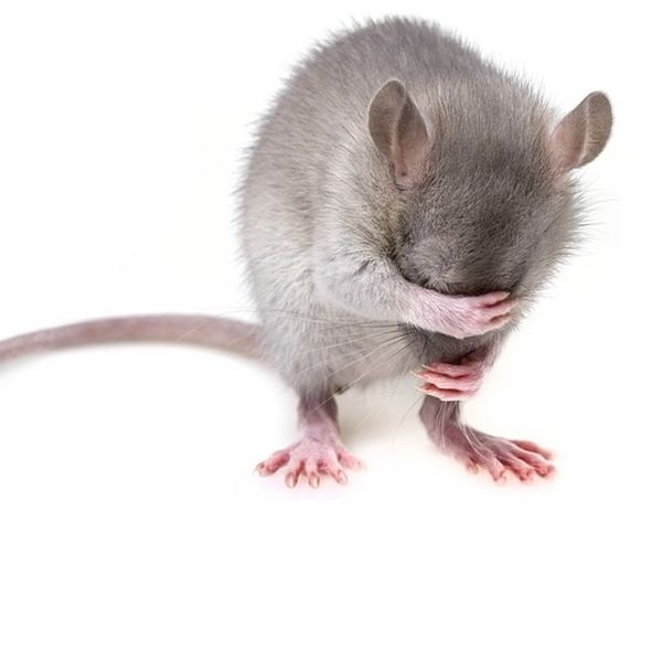 Ultraschall gegen Ratten