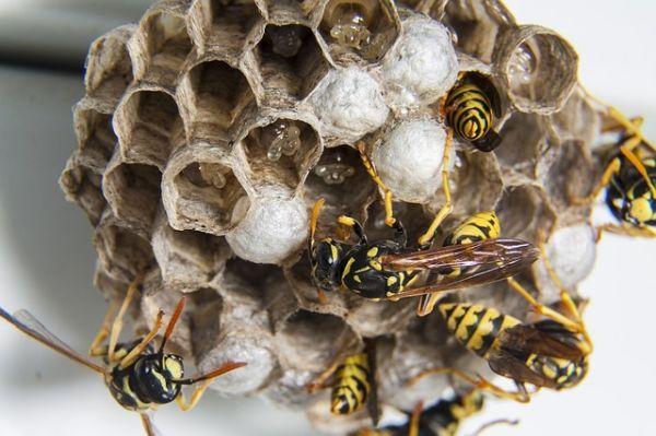 Wabenstruktur Wespe Eier Arbeiterinnen