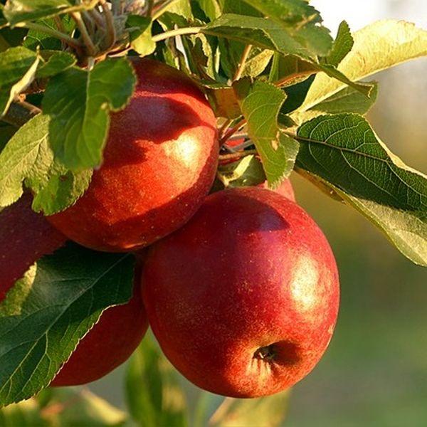 Apfelwickler mit Nematoden bekämpfen