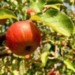 Apfelwickler-Pheromonfallen