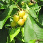 Gelbtafeln und Gelbfallen gegen Kirschfruchtfliegen
