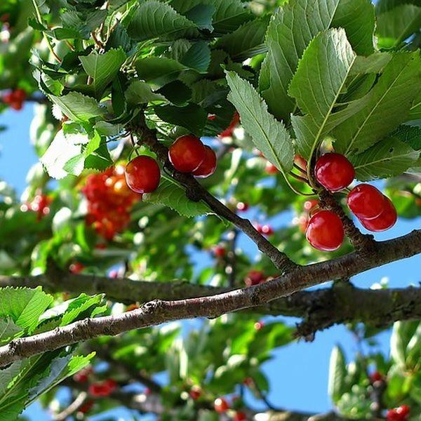 Kirschfruchtfliegen mit Nematoden bekämpfen