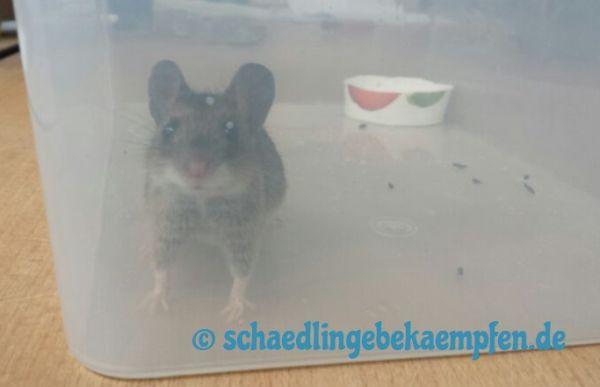 Rattenfalle selber bauen