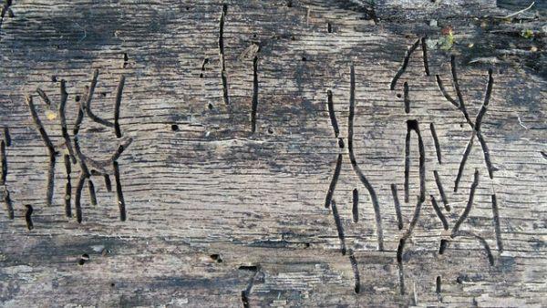 Wie kommt der Holzwurm ins Holz?