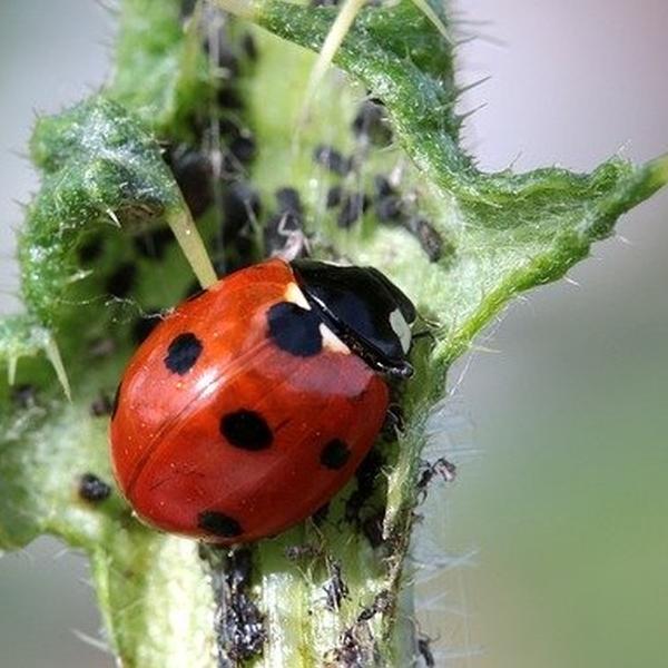 Marienkäfer gegen Blattläuse