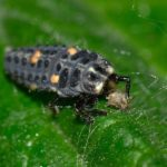 Marienkäferlarven gegen Blattläuse kaufen